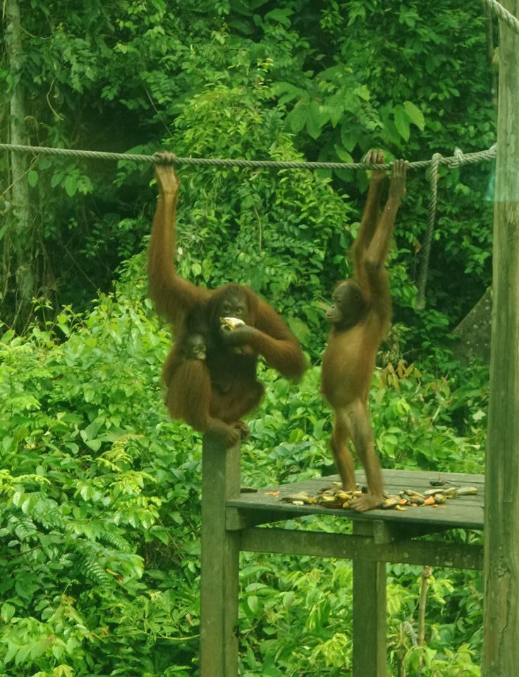 Malaysian Borneo: Sepilok and RiverKinabatangan